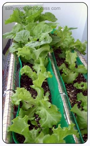 balcony garden lettuce