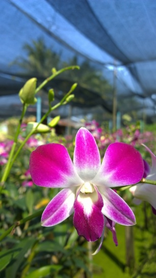 orchid-farm-at-nakhon-pathom-bike-route
