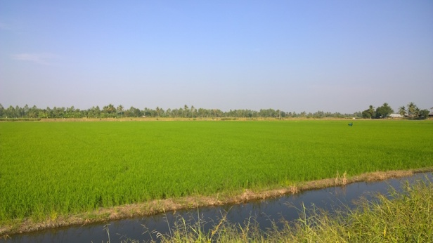 rice-paddy-field-at-nakhon-pathom-saladin