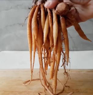 finger root krachai